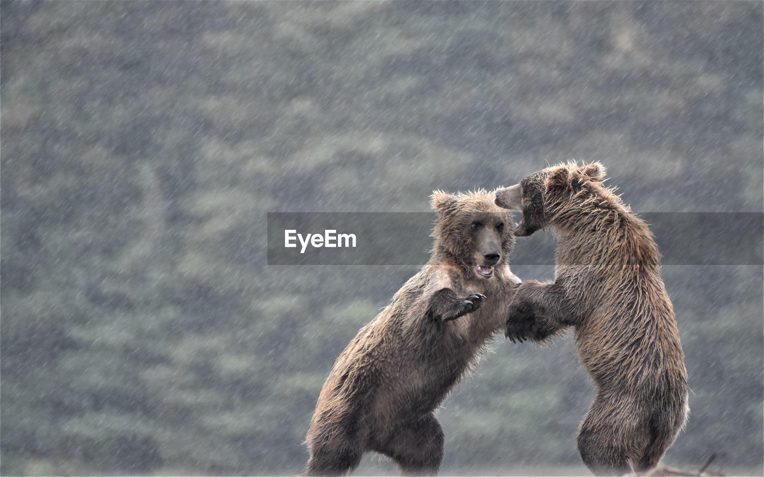 Brown bears fighting during rainfall