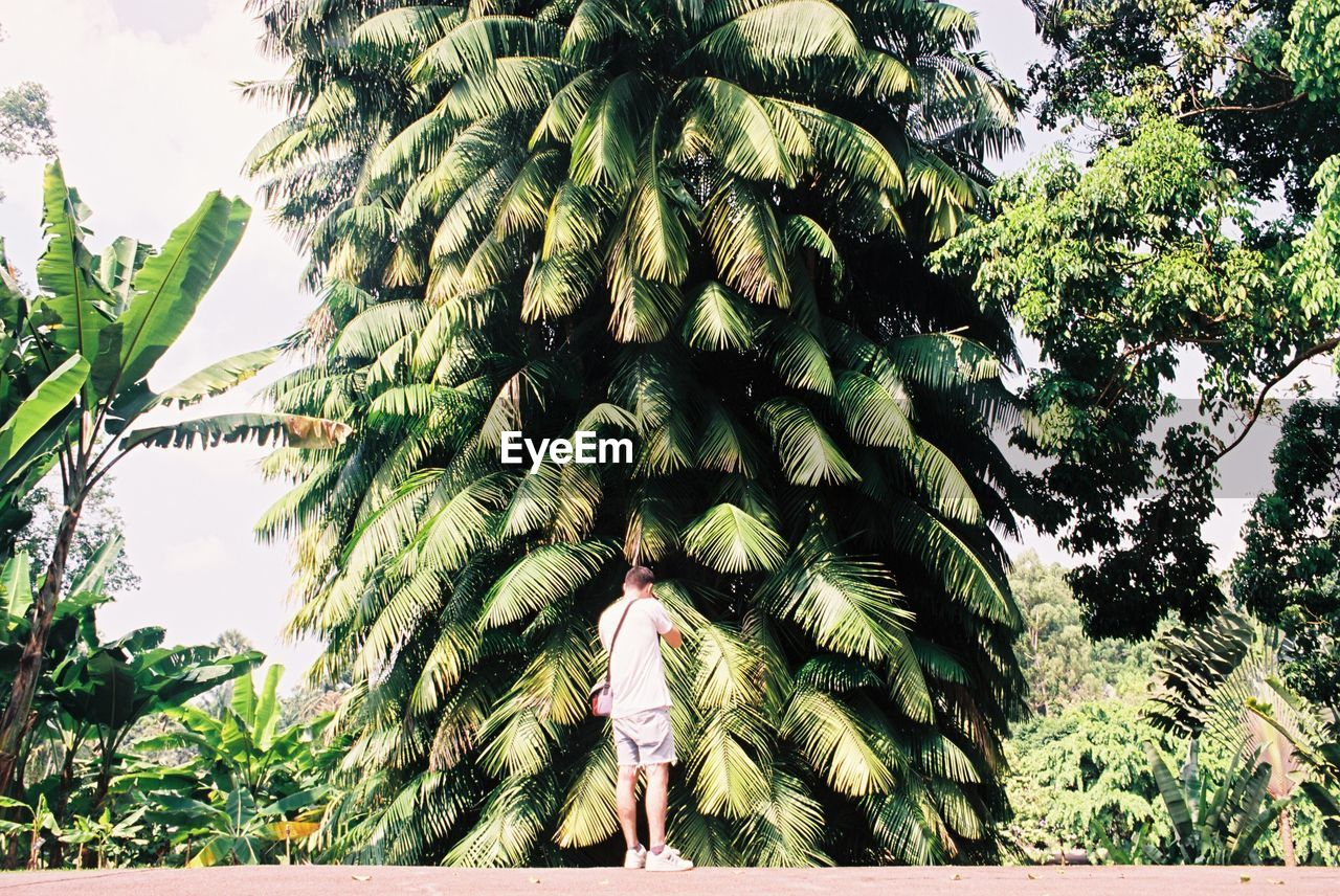 tropical climate, tree, plant, growth, palm tree, green color, nature, day, beauty in nature, low angle view, no people, outdoors, sky, sunlight, fruit, tropical fruit, trunk, leaf, healthy eating, tree trunk, coconut palm tree, tropical tree