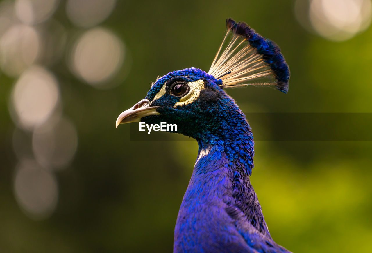 one animal, animal themes, animal, bird, vertebrate, animals in the wild, animal wildlife, focus on foreground, blue, peacock, close-up, no people, day, animal body part, nature, looking away, beauty in nature, looking, beak, side view, animal head, purple, profile view, animal eye
