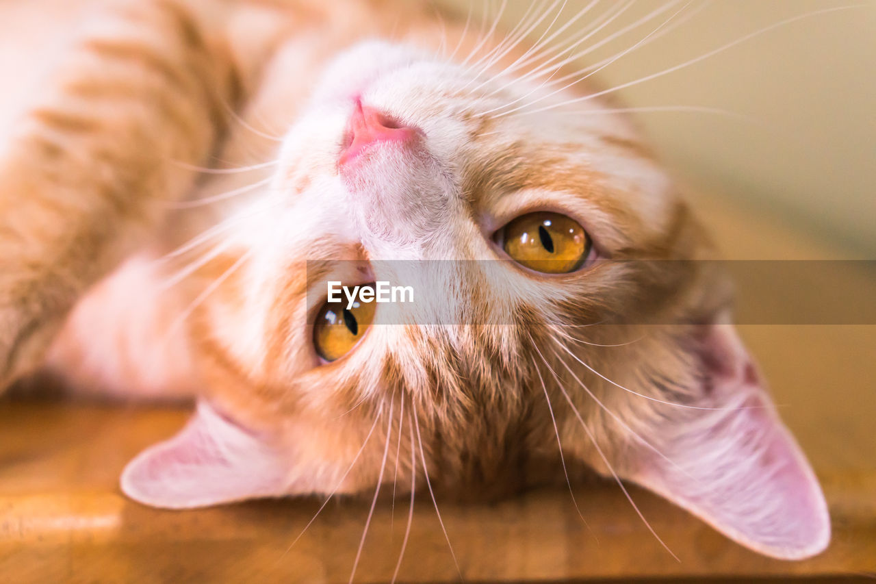 domestic, mammal, domestic animals, one animal, pets, animal themes, cat, domestic cat, animal, feline, close-up, vertebrate, indoors, whisker, no people, focus on foreground, animal body part, looking, portrait, animal head, animal eye