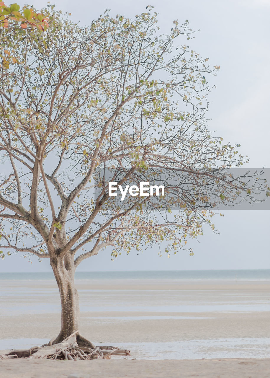 tree, beauty in nature, tranquility, sky, plant, tranquil scene, water, nature, scenics - nature, branch, land, day, no people, sea, beach, growth, non-urban scene, horizon, outdoors