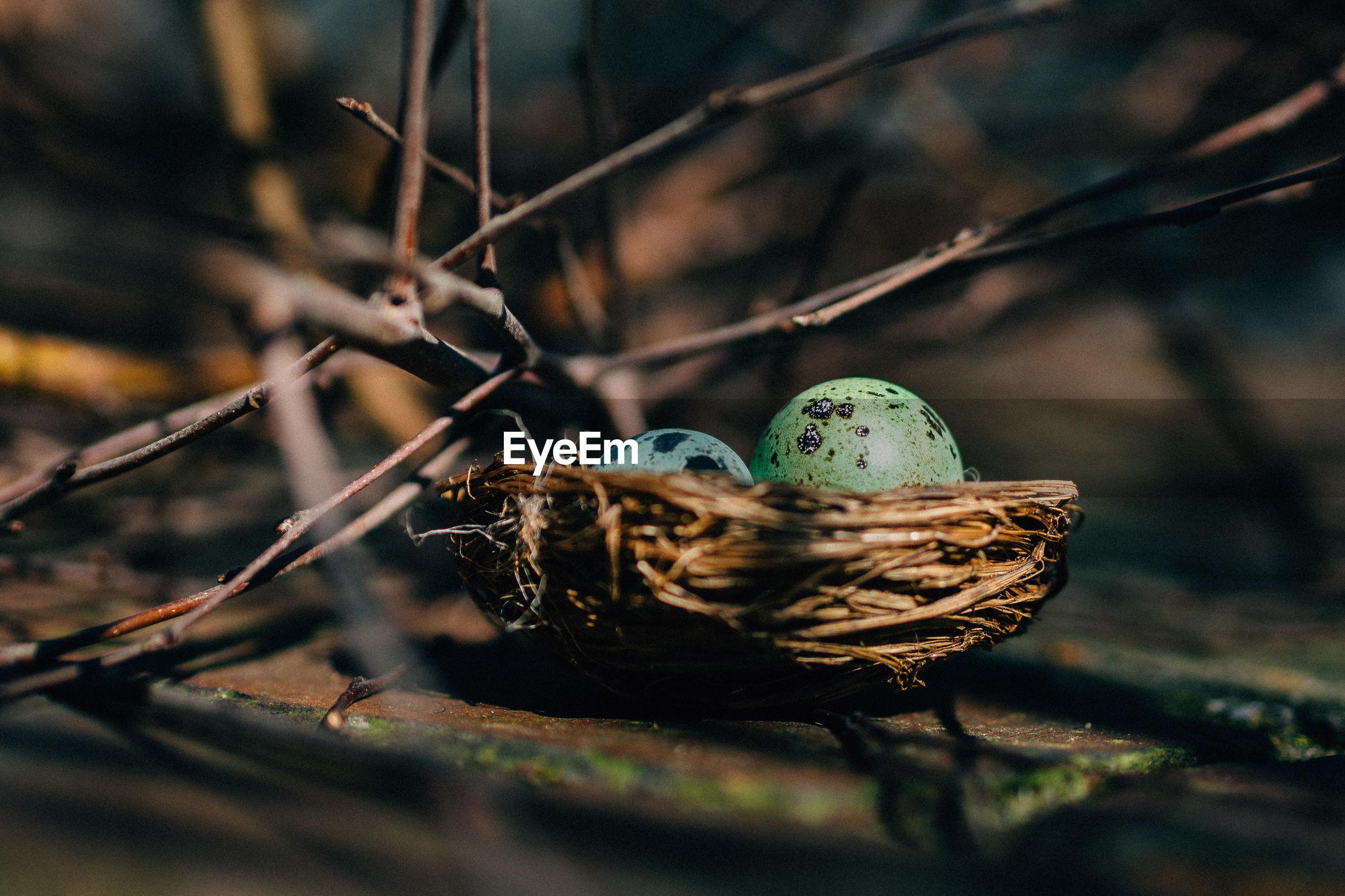 Quail eggs in bird nest