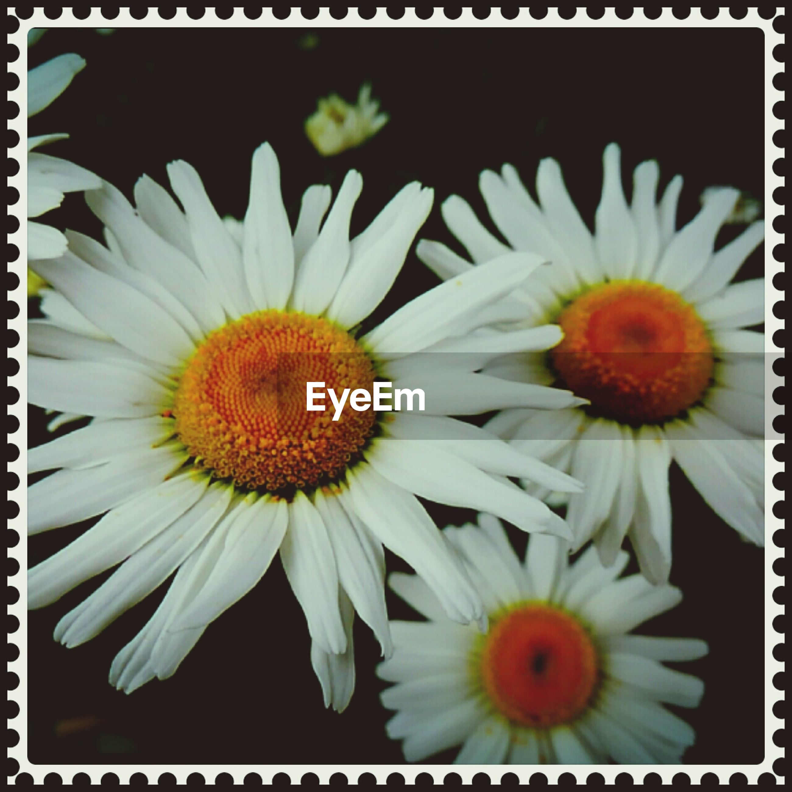 flower, petal, flower head, freshness, transfer print, fragility, daisy, pollen, white color, auto post production filter, beauty in nature, yellow, growth, blooming, close-up, nature, high angle view, plant, in bloom, no people