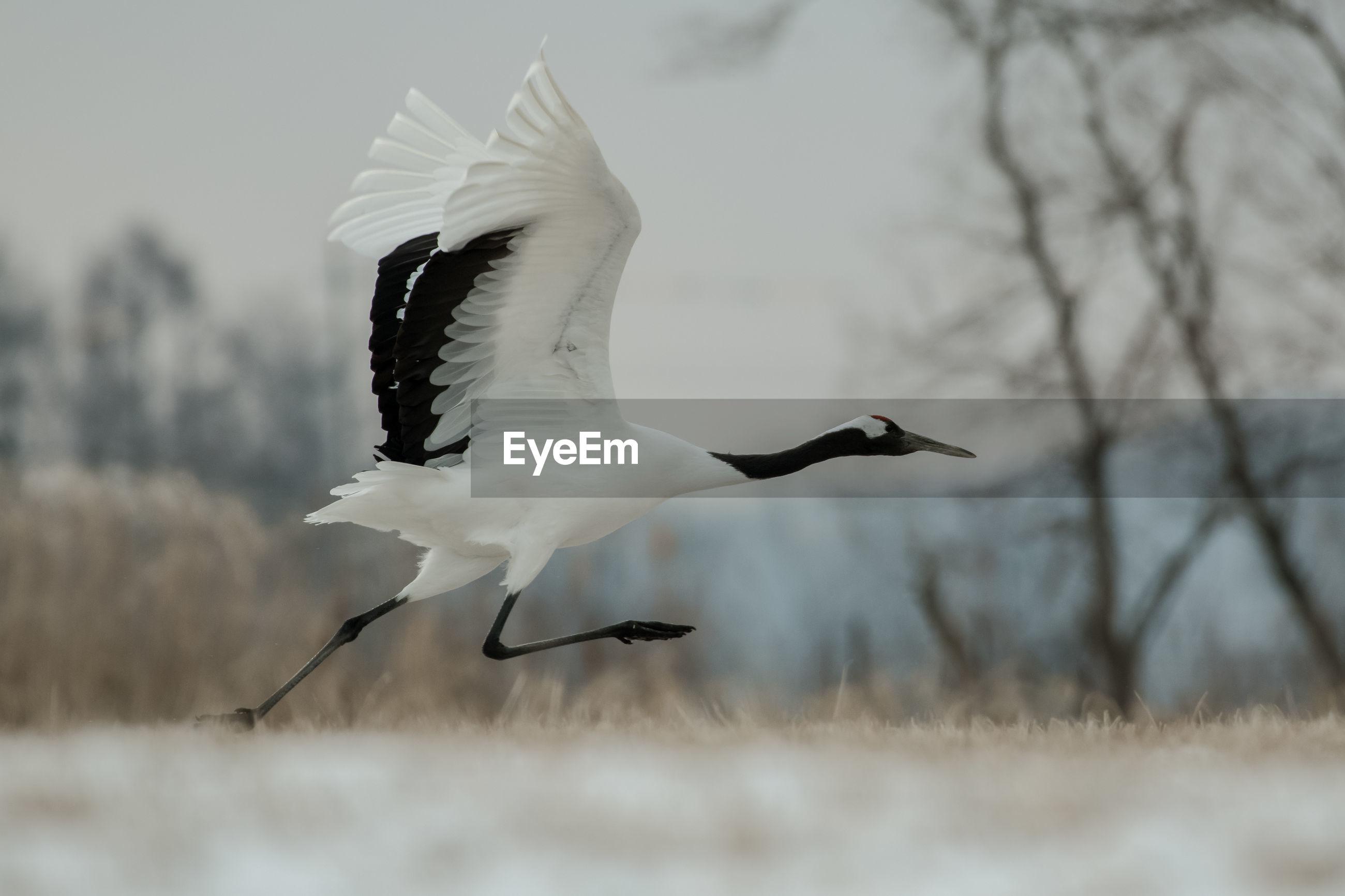 White bird flying over land during winter