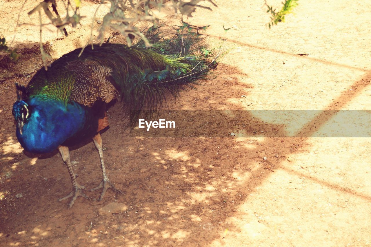 bird, animal themes, one animal, animals in the wild, no people, nature, day, animal wildlife, feather, outdoors, sunlight, shadow, peacock, beauty in nature, close-up