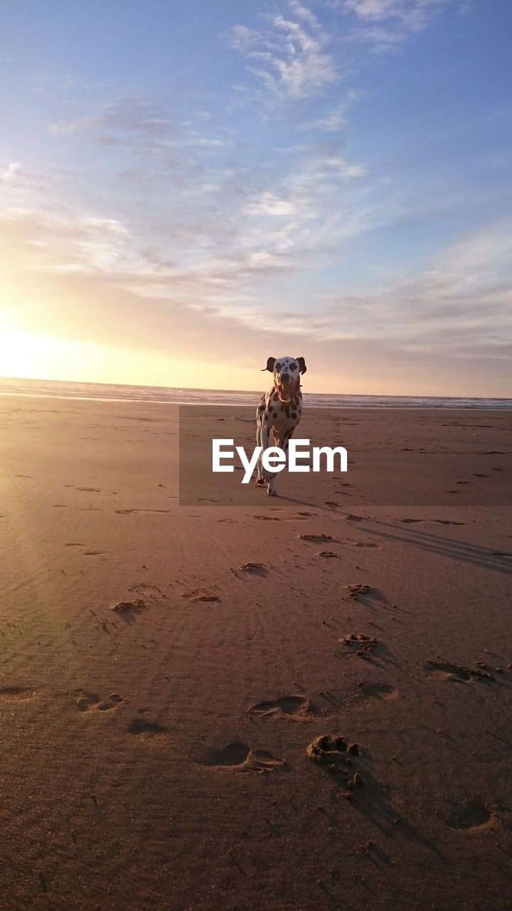 Dog On Sand At Beach Against Sky During Sunset
