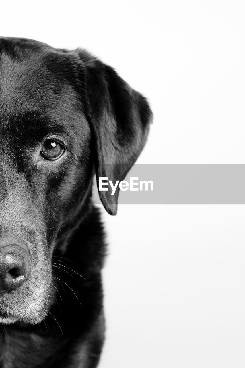 one animal, domestic, pets, dog, domestic animals, canine, mammal, animal themes, animal, studio shot, copy space, vertebrate, indoors, close-up, looking, animal head, animal body part, no people, looking away, white background, animal eye