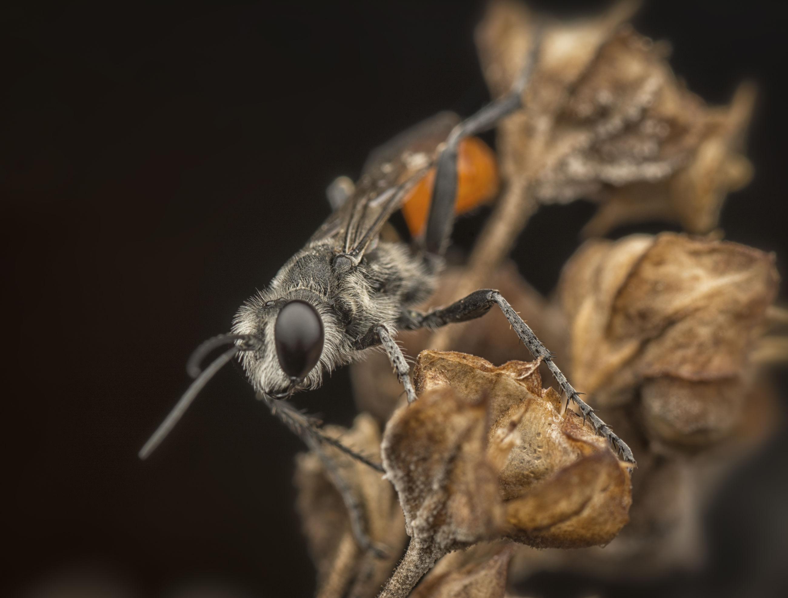 Prionynx closeup