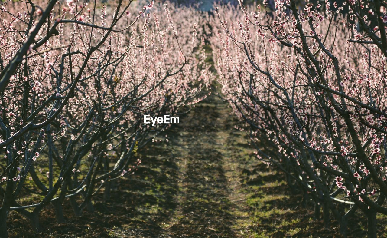 tree, plant, growth, blossom, flower, nature, beauty in nature, branch, flowering plant, springtime, fragility, freshness, no people, day, outdoors, cherry blossom, diminishing perspective, vulnerability, cherry tree, tranquility, treelined, tree canopy