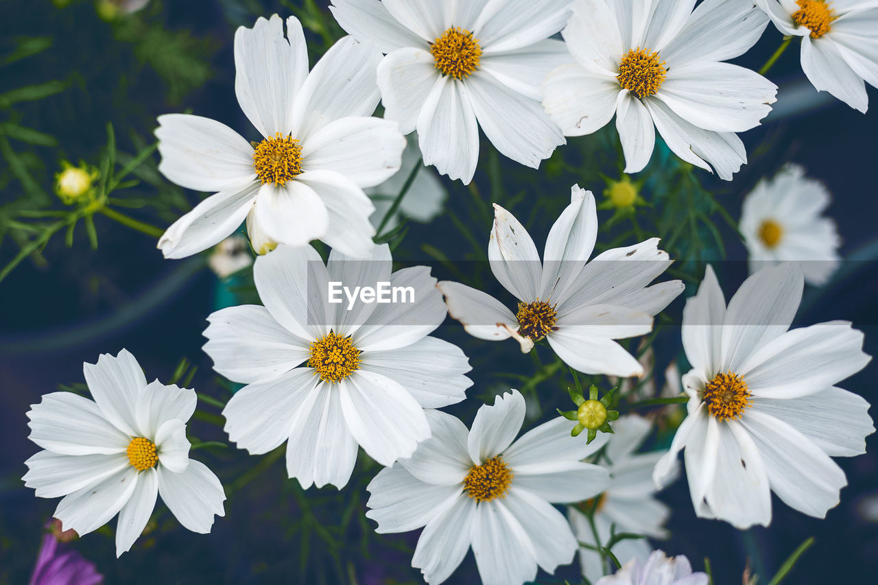 flowering plant, flower, freshness, fragility, vulnerability, petal, plant, beauty in nature, flower head, growth, inflorescence, white color, close-up, nature, pollen, no people, daisy, day, osteospermum, focus on foreground, outdoors