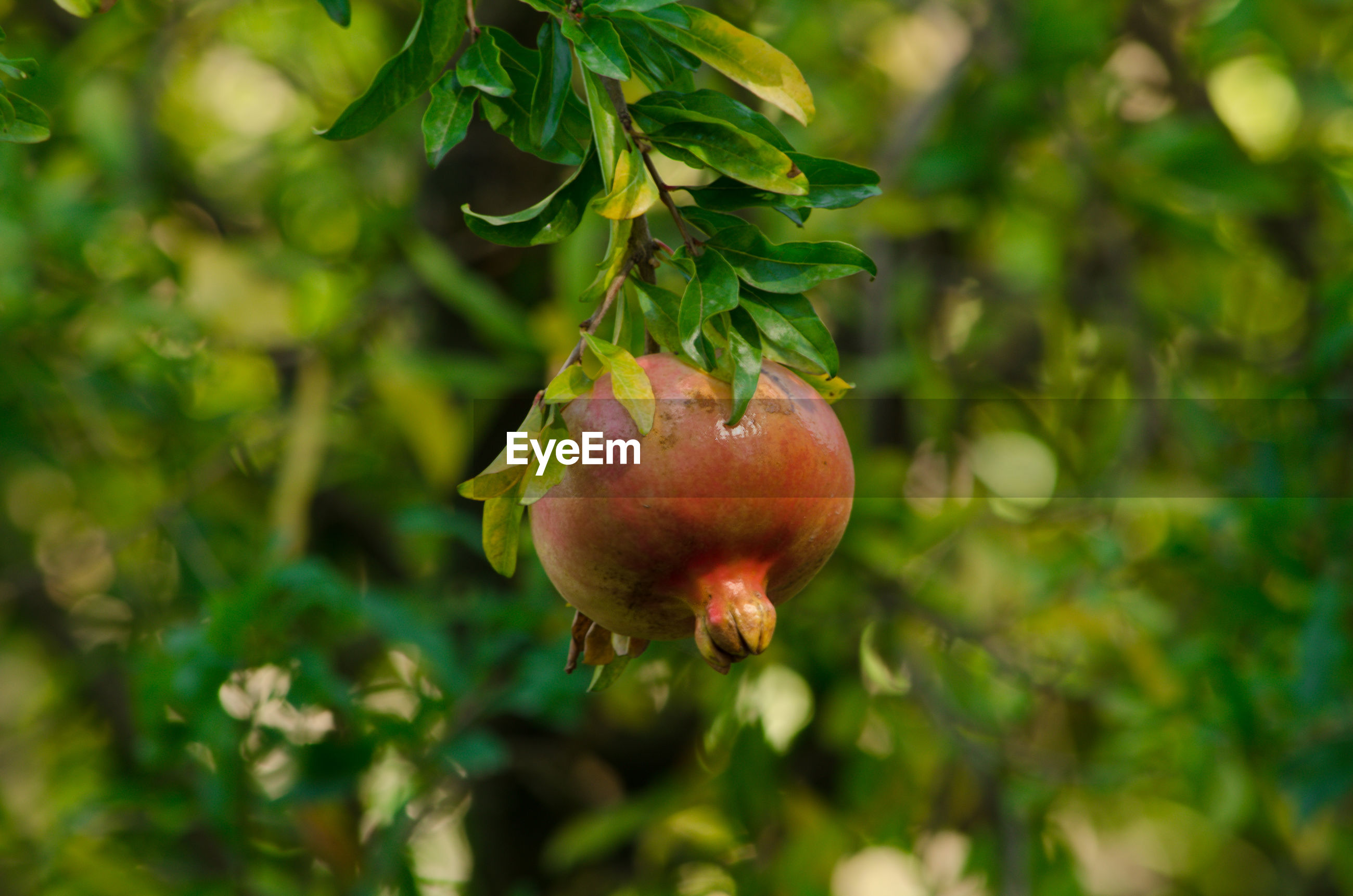 Low angle view of fruit hanging on tree