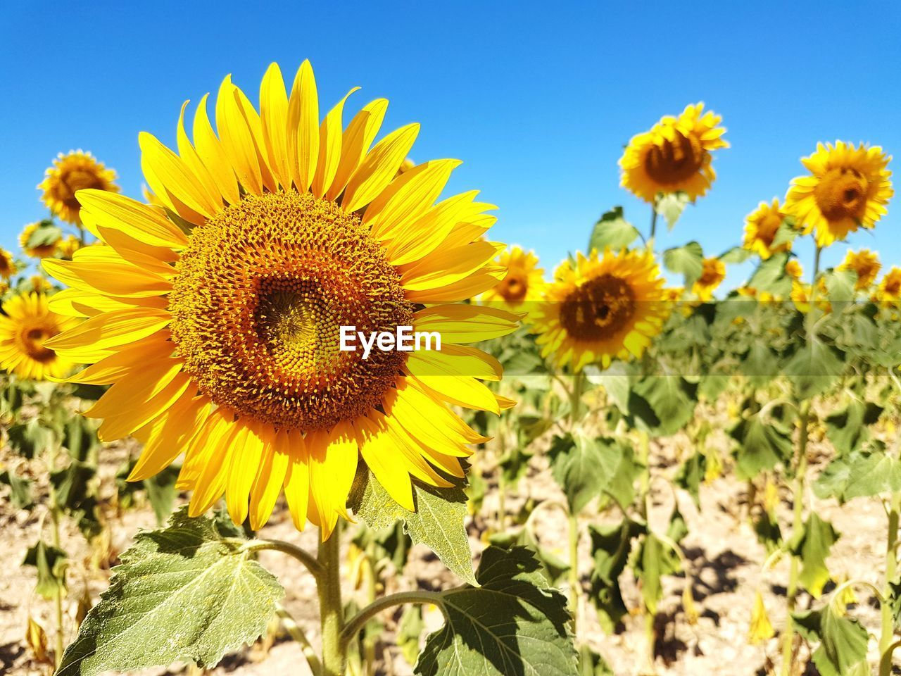 flower, yellow, nature, beauty in nature, petal, growth, plant, flower head, fragility, sunflower, field, outdoors, freshness, no people, day, springtime, agriculture, close-up, blooming, sky