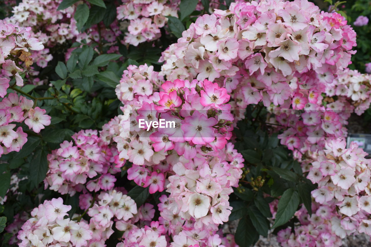 flowering plant, flower, pink color, beauty in nature, vulnerability, plant, fragility, petal, growth, freshness, inflorescence, close-up, nature, flower head, day, no people, plant part, leaf, backgrounds, full frame, outdoors, springtime, lilac, bunch of flowers