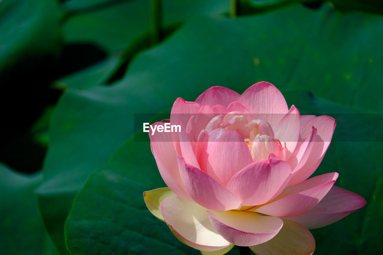petal, flower, beauty in nature, nature, pink color, flower head, fragility, no people, growth, plant, close-up, lotus, leaf, blooming, freshness, lotus water lily, day, outdoors