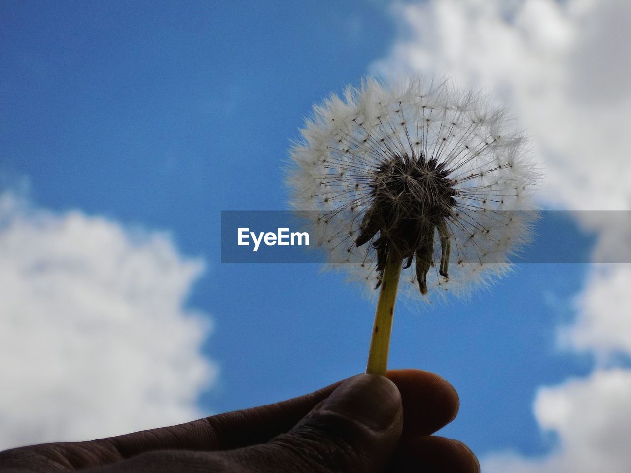 human hand, flower, hand, flowering plant, human body part, dandelion, fragility, unrecognizable person, sky, real people, one person, plant, vulnerability, finger, holding, body part, nature, close-up, human finger, freshness, flower head, outdoors, softness, dandelion seed