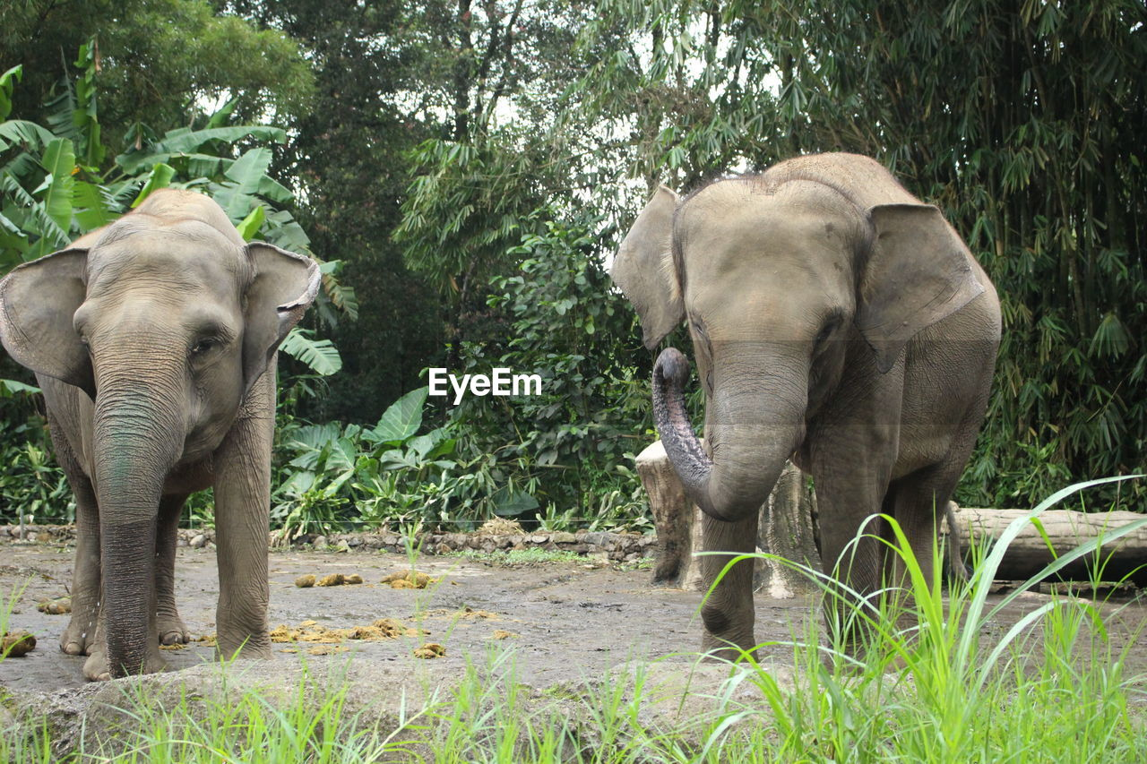 elephant, animal themes, mammal, plant, animals in the wild, animal, animal wildlife, group of animals, tree, vertebrate, two animals, no people, forest, nature, animal body part, day, safari, land, young animal, animal trunk, outdoors, animal family, herbivorous, african elephant
