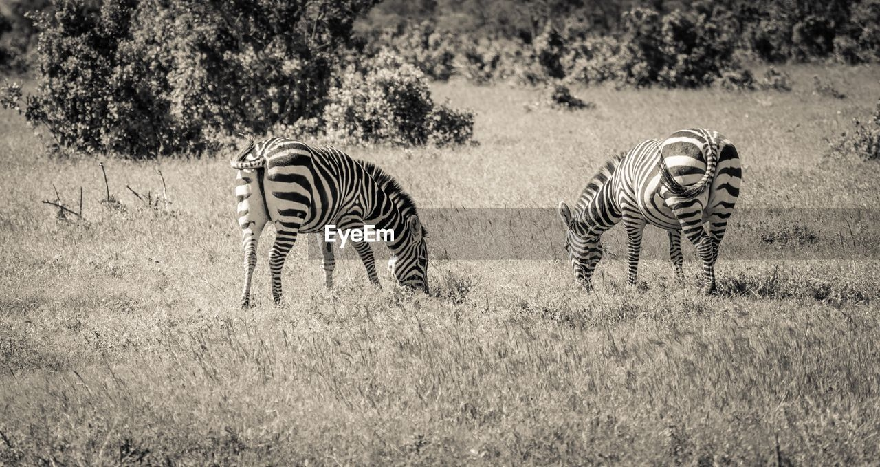 VIEW OF TWO ZEBRA