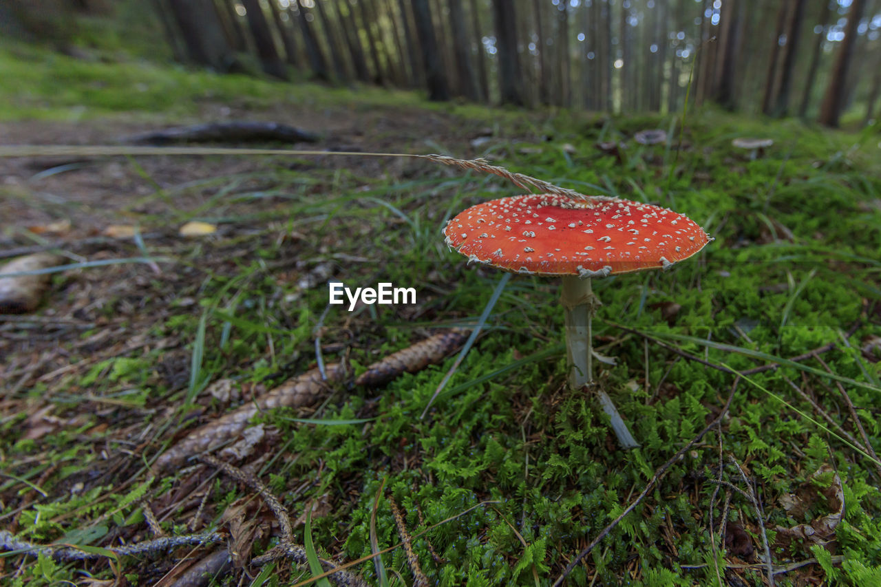 mushroom, fungus, fly agaric mushroom, vegetable, land, growth, toadstool, plant, food, day, focus on foreground, no people, close-up, field, nature, red, beauty in nature, freshness, forest, edible mushroom, outdoors, poisonous