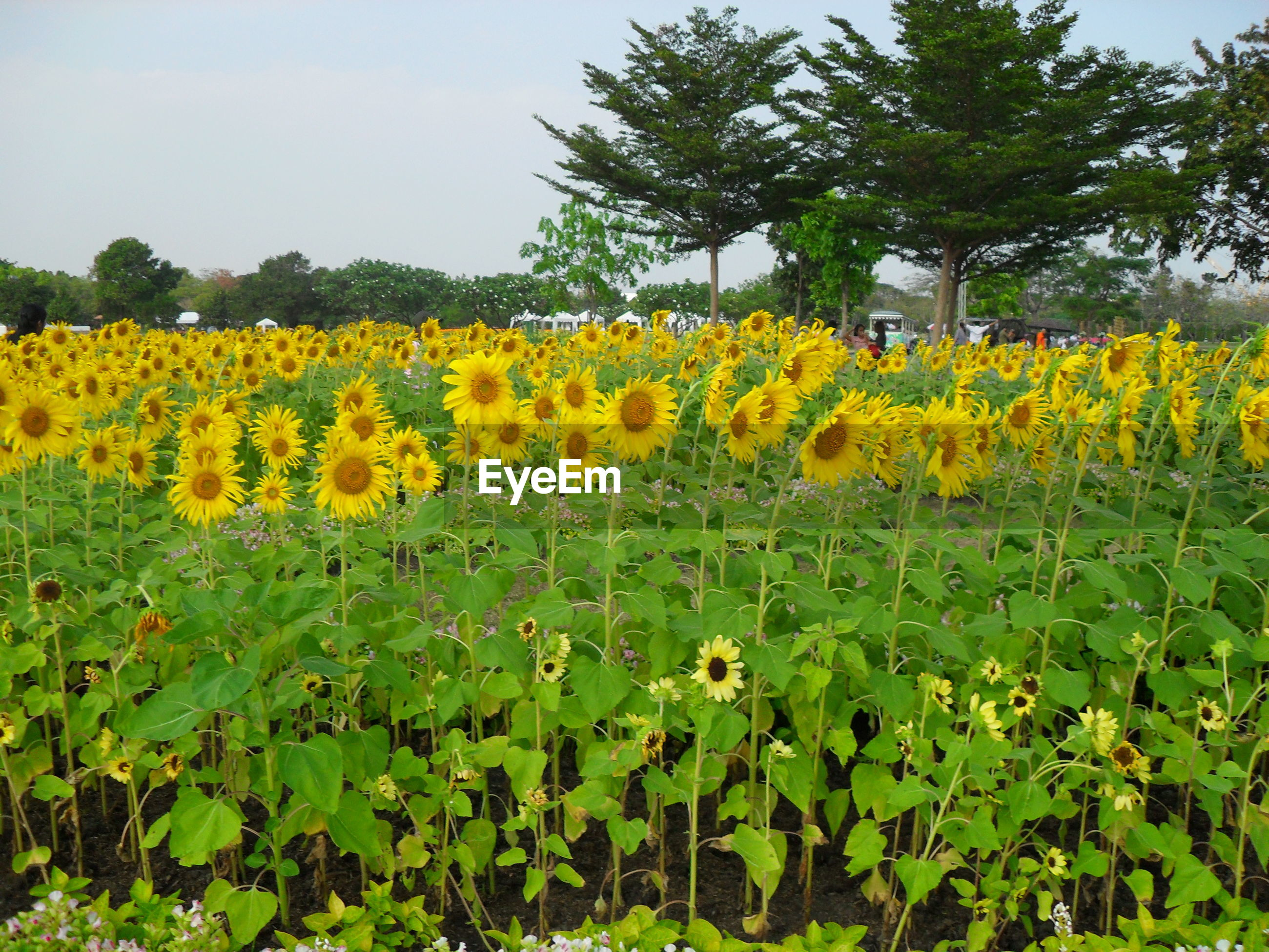 SCENIC VIEW OF SUNFLOWERS GROWING ON FIELD