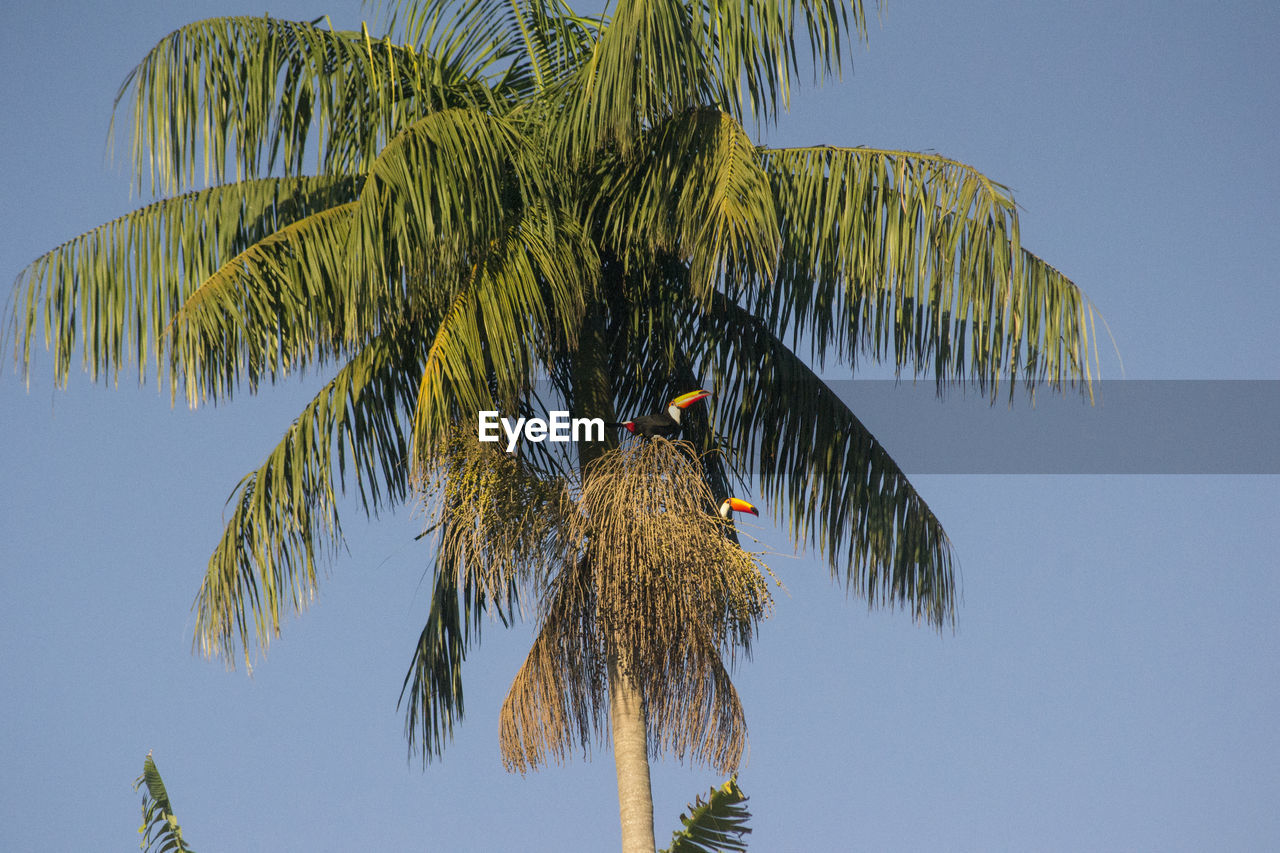 bird, animals in the wild, tree, animal themes, animal wildlife, perching, low angle view, nature, growth, palm tree, clear sky, one animal, no people, outdoors, day, leaf, beauty in nature, branch, sky