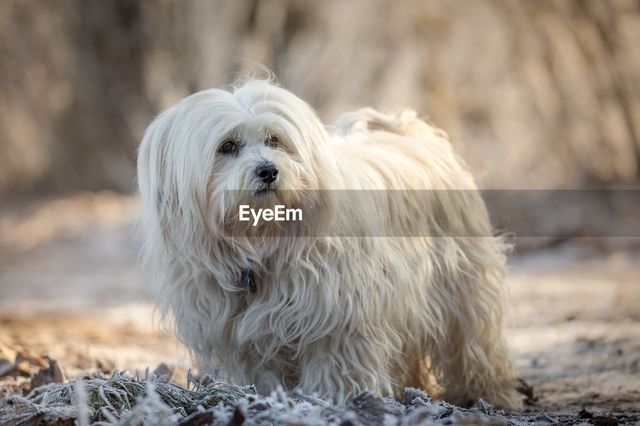 pets, one animal, domestic, mammal, animal themes, canine, animal, domestic animals, dog, animal hair, vertebrate, hair, focus on foreground, white color, no people, day, land, field, portrait, nature
