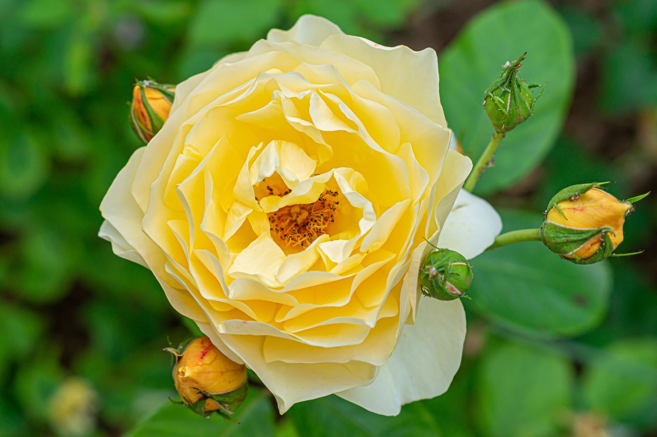 flower, flowering plant, vulnerability, plant, flower head, petal, beauty in nature, fragility, inflorescence, yellow, growth, close-up, freshness, rose, rose - flower, nature, focus on foreground, no people, day, outdoors, pollen