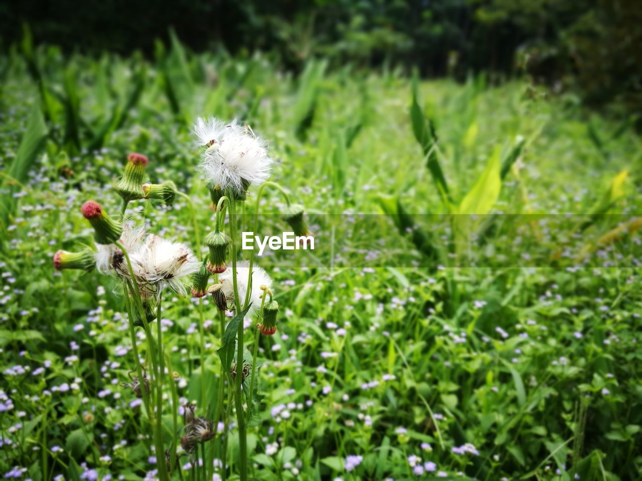plant, growth, flower, flowering plant, beauty in nature, fragility, vulnerability, freshness, green color, nature, land, field, close-up, focus on foreground, no people, plant stem, day, white color, inflorescence, dandelion, flower head, outdoors, softness