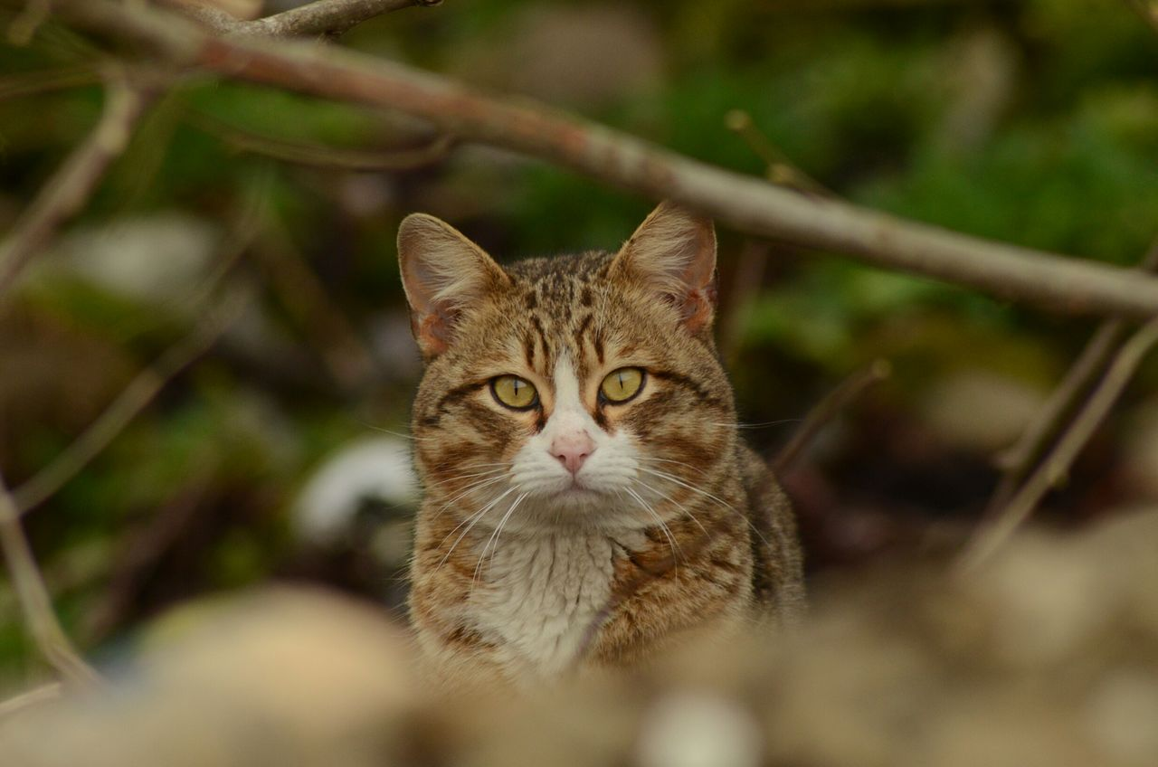 cat, mammal, feline, one animal, domestic, domestic animals, domestic cat, pets, looking at camera, portrait, vertebrate, selective focus, no people, close-up, day, animal body part, looking, whisker, animal eye, tabby