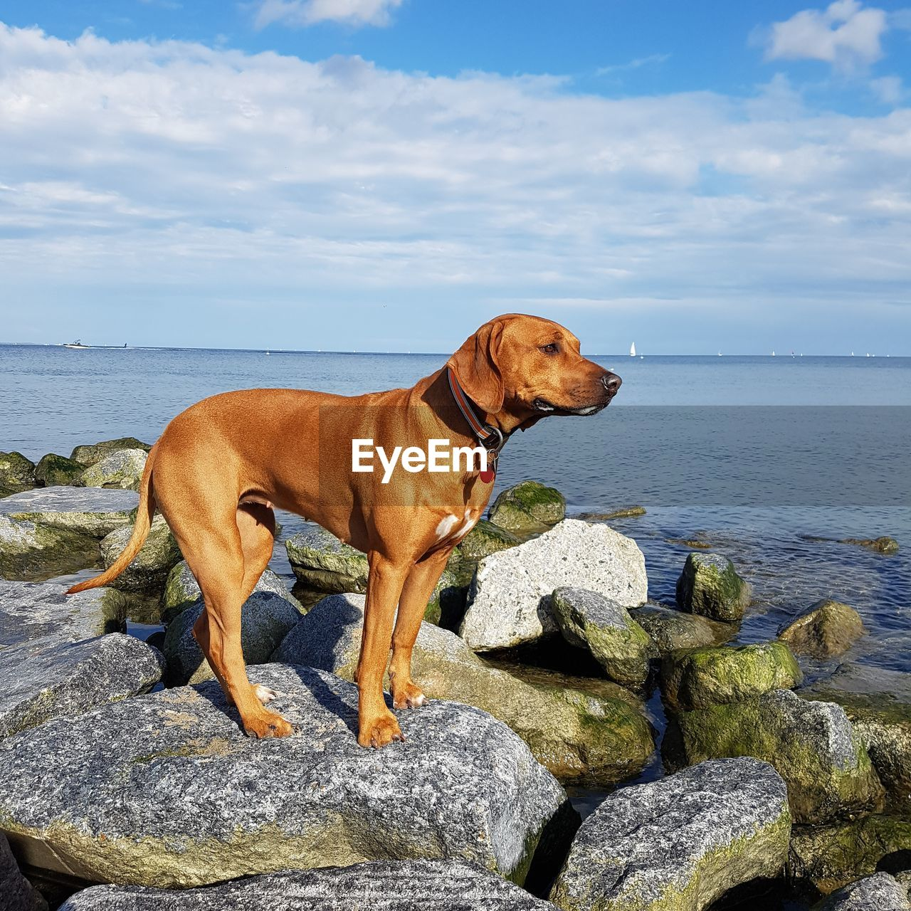 canine, dog, domestic animals, mammal, solid, domestic, pets, animal themes, rock, one animal, water, animal, sea, rock - object, vertebrate, nature, horizon over water, day, sky, no people, outdoors, weimaraner
