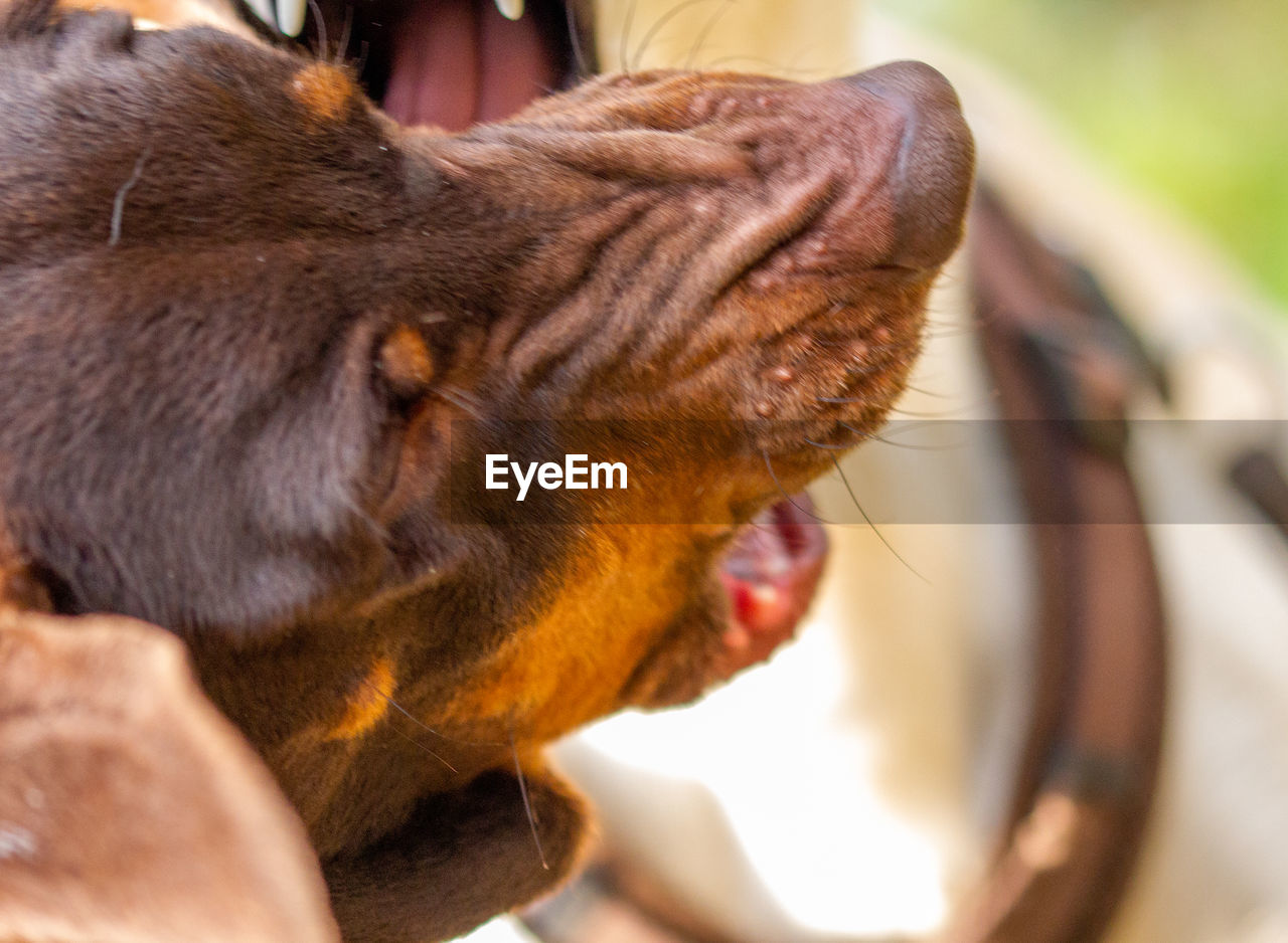 CLOSE-UP OF DOG WITH MOUTH OPEN