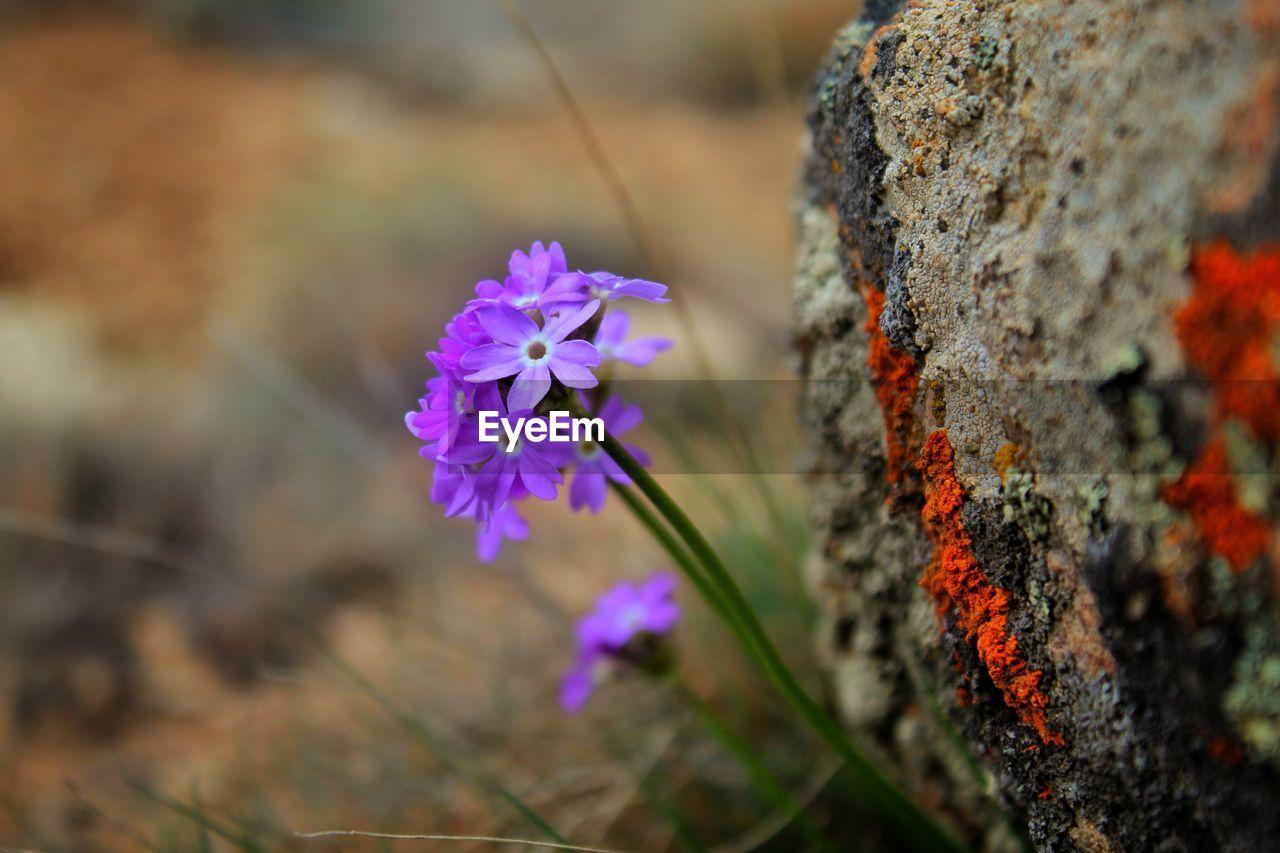 CLOSE-UP OF PURPLE FLOWERING PLANT IN BLOOM