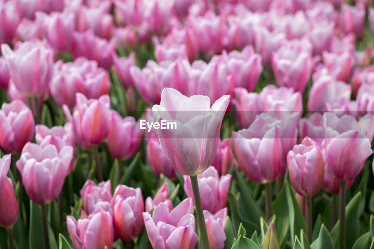 beauty in nature, flower, flowering plant, vulnerability, fragility, plant, freshness, pink color, petal, close-up, growth, flower head, inflorescence, tulip, nature, no people, full frame, field, day, selective focus, springtime, softness, purple, flowerbed