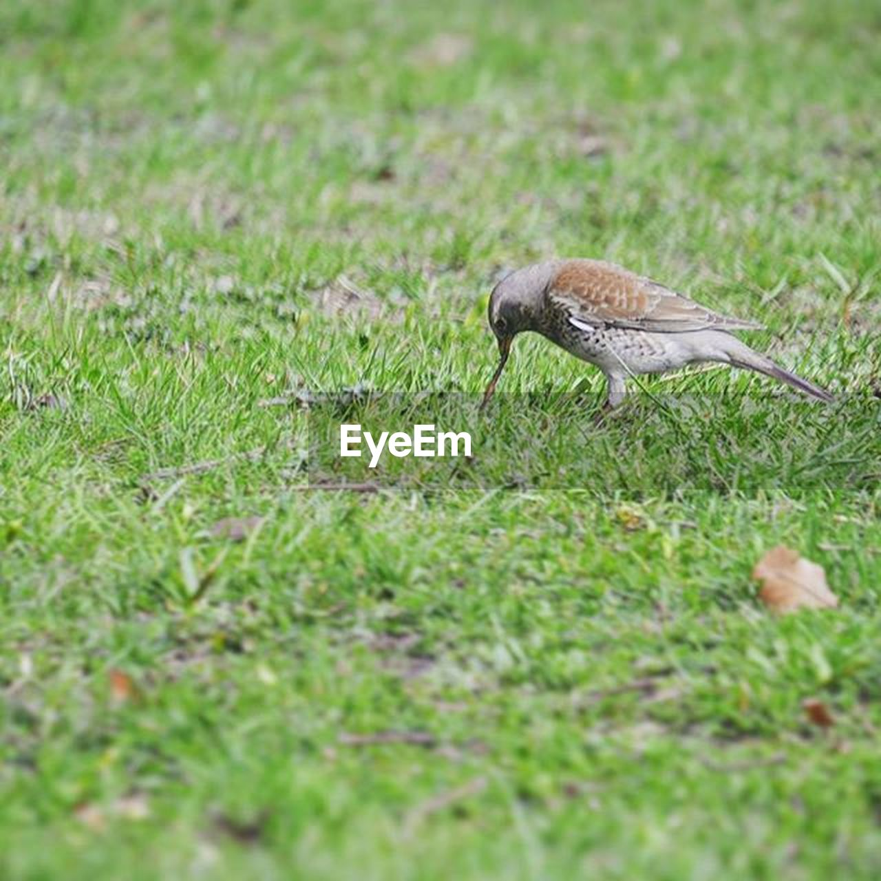 one animal, animal themes, bird, animals in the wild, grass, nature, animal wildlife, field, outdoors, day, no people, close-up