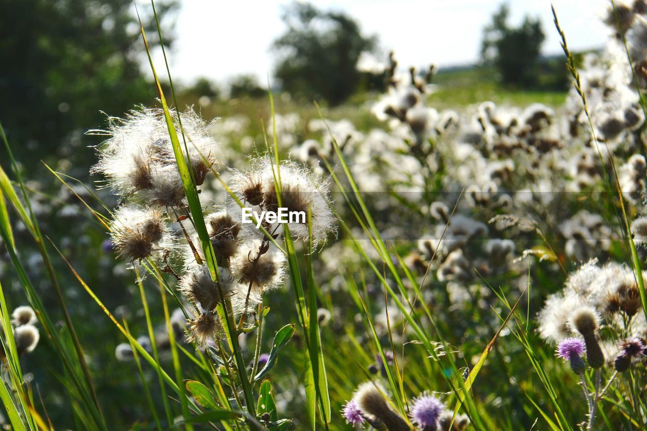 nature, growth, plant, flower, fragility, outdoors, field, beauty in nature, focus on foreground, no people, day, grass, close-up, freshness, thistle, flower head