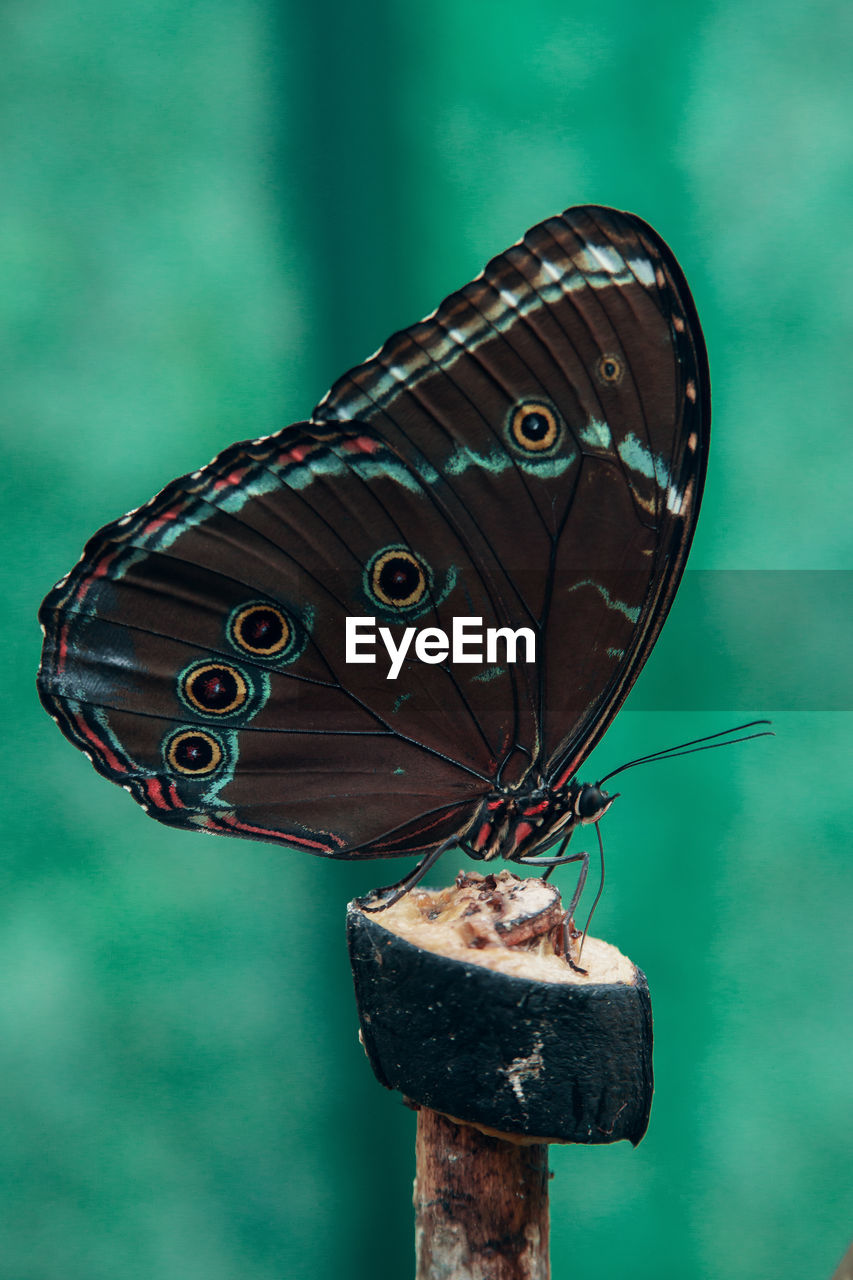no people, insect, close-up, butterfly - insect, animal wing, animal, metal, focus on foreground, invertebrate, animal themes, nature, day, animal wildlife, one animal, animals in the wild, outdoors, beauty in nature, old, animal markings, green color, butterfly