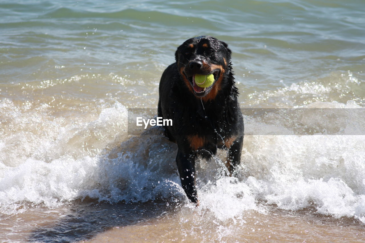 one animal, motion, canine, animal, dog, water, animal themes, mammal, domestic, pets, domestic animals, sea, splashing, day, vertebrate, wave, nature, running, no people, outdoors, mouth open, animal mouth