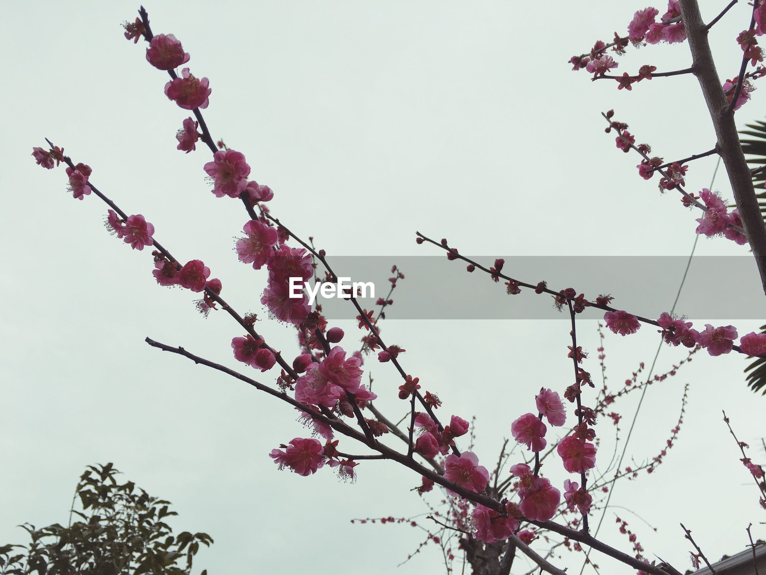 low angle view, flower, branch, tree, clear sky, freshness, growth, beauty in nature, pink color, nature, fragility, blossom, sky, cherry tree, cherry blossom, blooming, day, springtime, in bloom, twig