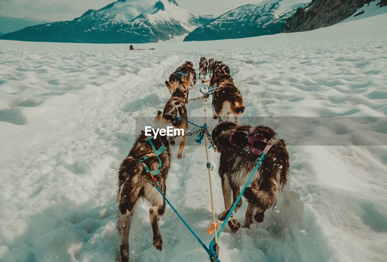 Sled Dogs Running On Snow