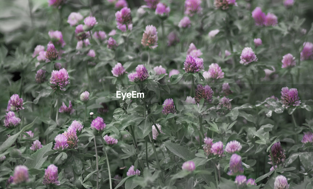 flower, flowering plant, plant, freshness, beauty in nature, growth, vulnerability, fragility, no people, close-up, nature, pink color, petal, selective focus, day, inflorescence, flower head, outdoors, plant part, leaf, purple, flowerbed, ornamental garden