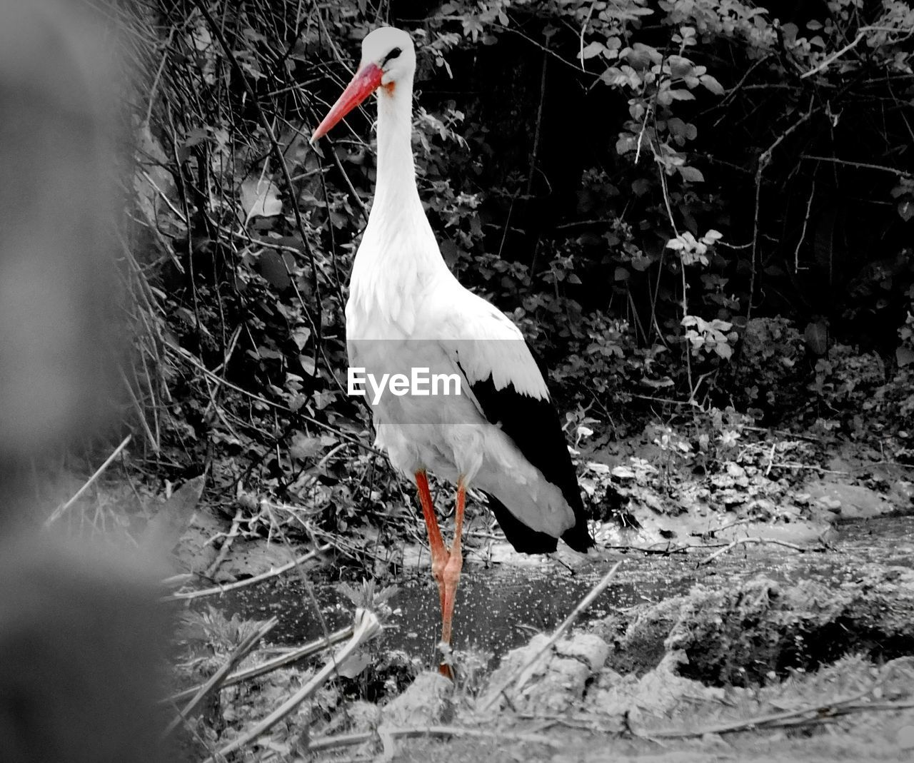 animal themes, animals in the wild, one animal, bird, animal wildlife, nature, day, no people, outdoors, white stork, water, beauty in nature