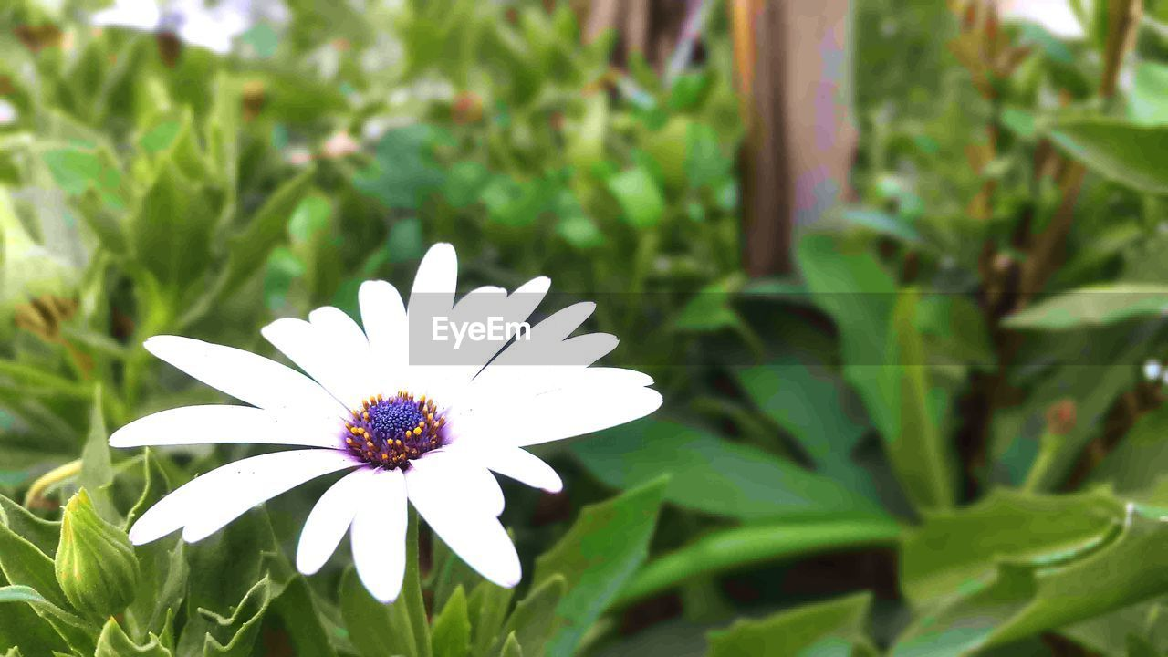 flower, petal, growth, nature, beauty in nature, fragility, flower head, freshness, white color, blooming, plant, day, no people, green color, outdoors, close-up, leaf, osteospermum