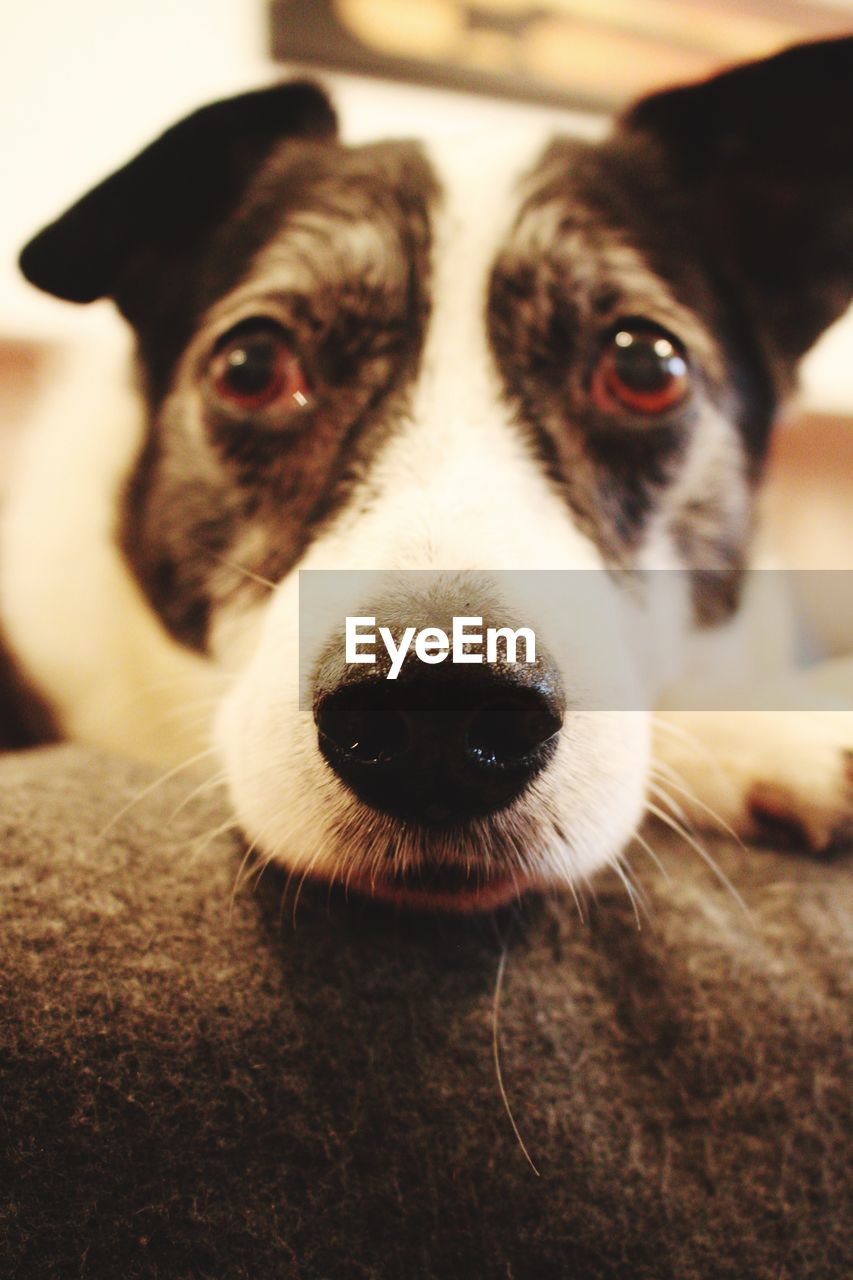 pets, domestic, dog, canine, domestic animals, one animal, mammal, looking at camera, portrait, vertebrate, close-up, indoors, animal body part, people, selective focus, focus on foreground, animal nose, snout, animal eye, jack russell terrier, whisker, animal mouth