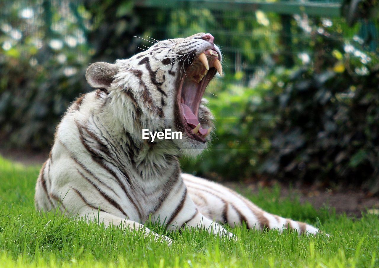 White tiger yawning on grass at zoo
