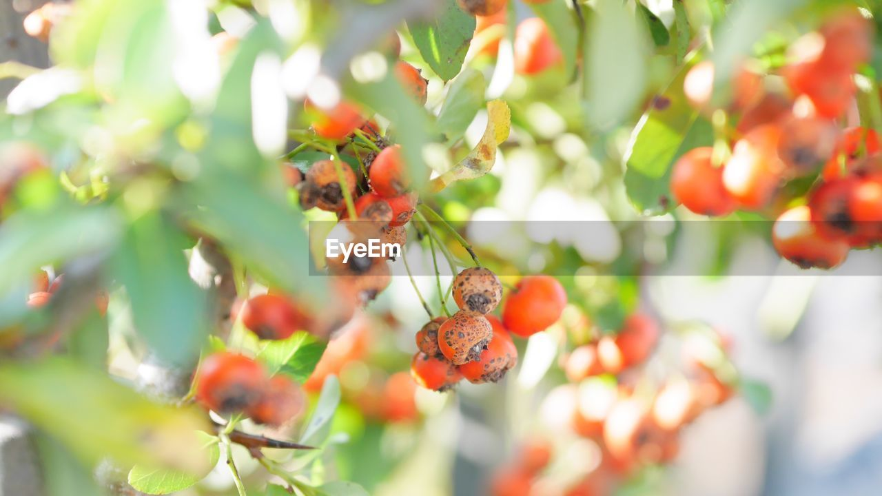fruit, food and drink, healthy eating, growth, food, freshness, plant, day, berry fruit, tree, close-up, selective focus, beauty in nature, no people, nature, rowanberry, red, leaf, plant part, focus on foreground, ripe, outdoors