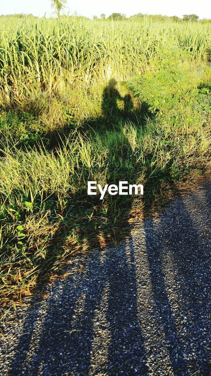 Shadow Of Cycling Man On Street And Grassy Field