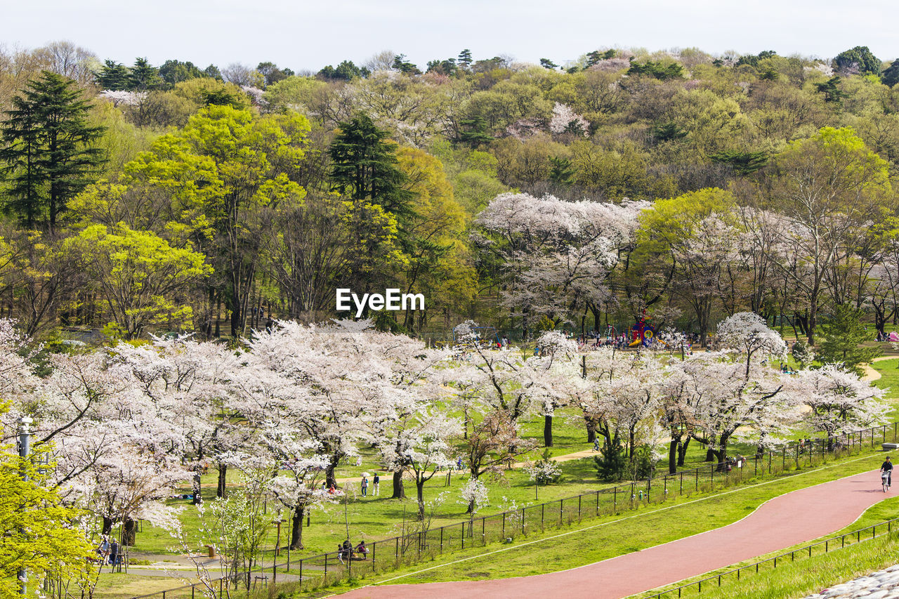 tree, plant, beauty in nature, growth, nature, day, flower, green color, tranquility, tranquil scene, grass, scenics - nature, flowering plant, park, land, no people, field, blossom, park - man made space, landscape, outdoors, springtime, cherry blossom, cherry tree