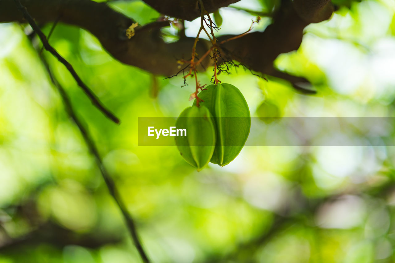 plant, green color, growth, tree, close-up, beauty in nature, focus on foreground, plant part, no people, nature, day, leaf, freshness, food, branch, outdoors, tranquility, hanging, fruit, food and drink