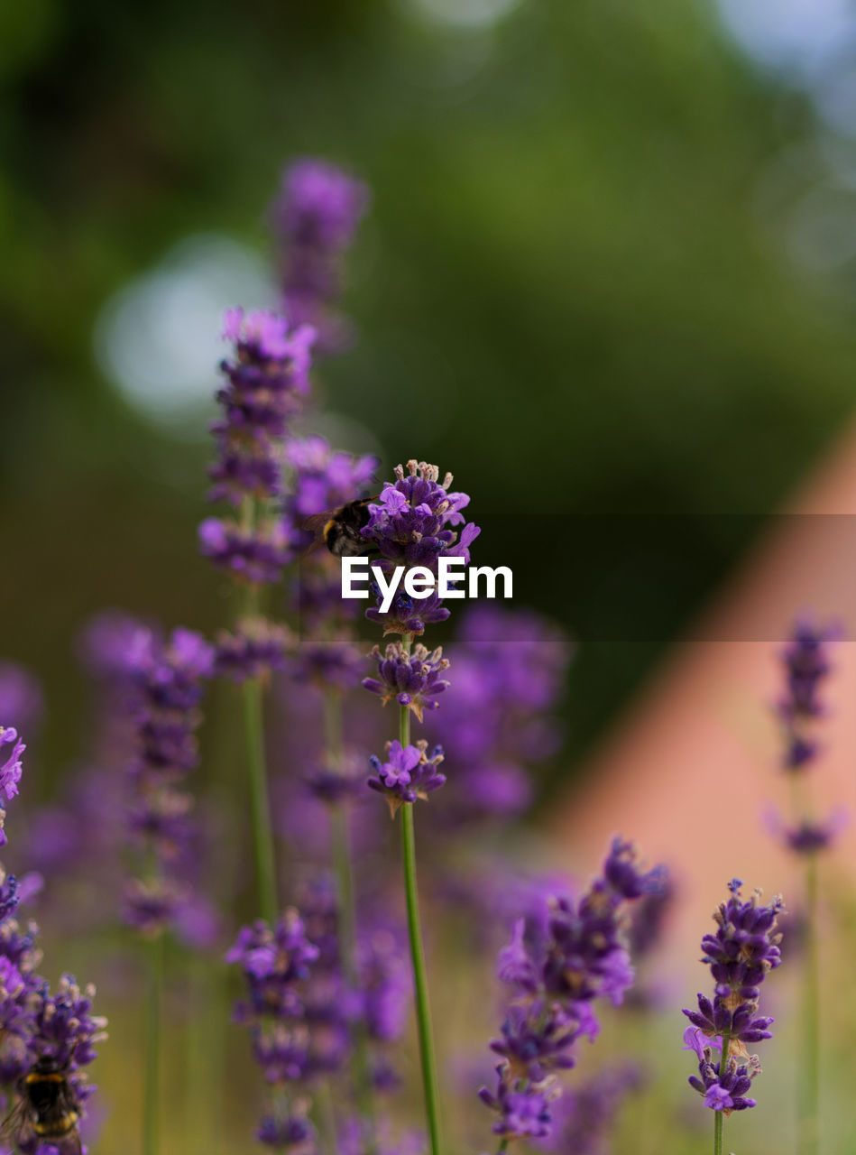 flowering plant, flower, plant, beauty in nature, fragility, vulnerability, freshness, purple, growth, close-up, selective focus, lavender, nature, animals in the wild, petal, flower head, animal themes, day, animal wildlife, no people, outdoors, pollination