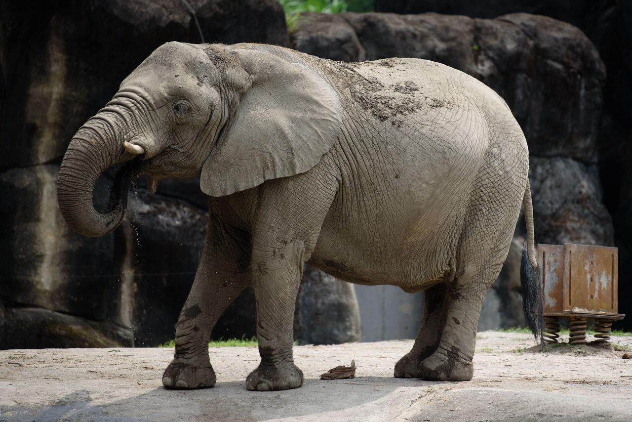 elephant, animal themes, animal, mammal, one animal, animal wildlife, animal trunk, vertebrate, animals in the wild, day, focus on foreground, animals in captivity, zoo, sunlight, nature, standing, no people, herbivorous, animal body part, outdoors