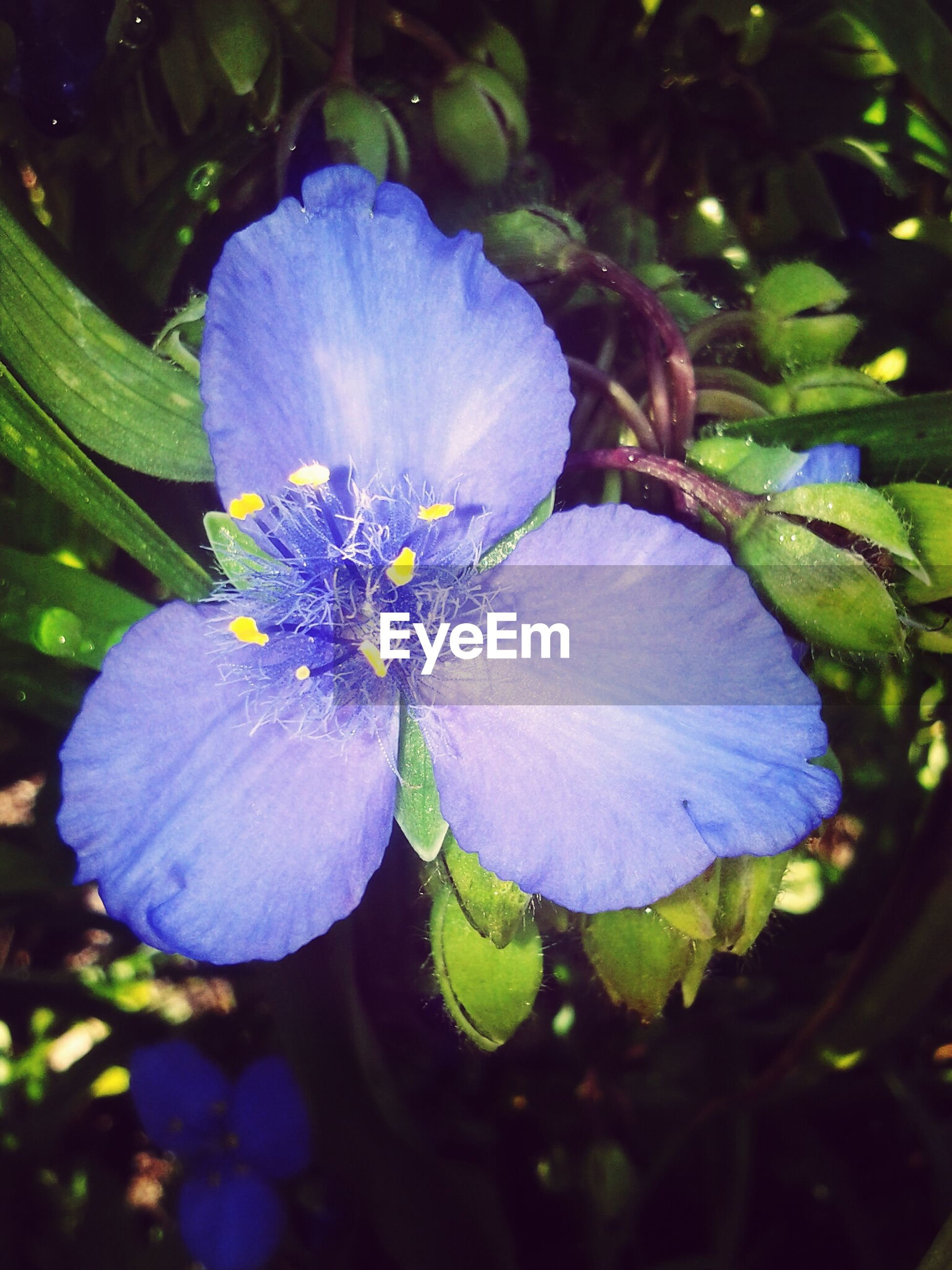 flower, petal, freshness, fragility, flower head, growth, beauty in nature, close-up, blooming, single flower, nature, plant, pollen, purple, leaf, water, focus on foreground, in bloom, blue, outdoors